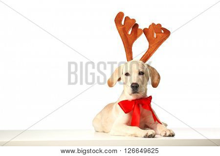 Beautiful Labrador retriever with red bow and decorative deer horns isolated on white background