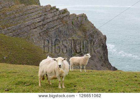 Welsh sheep the Gower coast Mewslade bay Wales uk