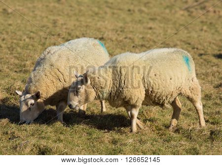 Two sheep grazing in a farm field of green grass