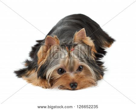 One groomed Yorkshire Terrier lies on white