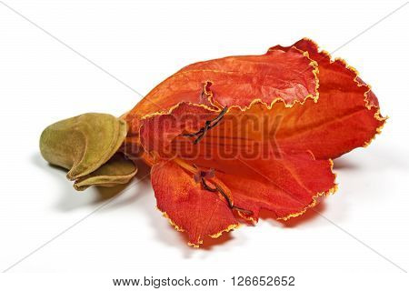 African Flame Tree Flower On White