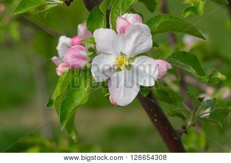 Closeup blossoming apple tree brunch with flowers