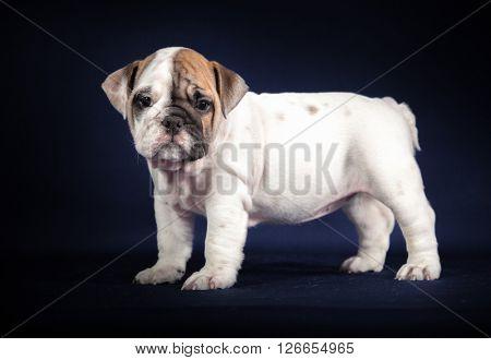 ENGLISH Bulldog puppy on dark background