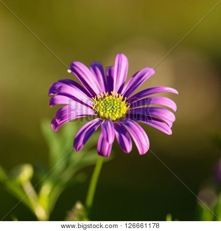 Detail Of Purple Marguerite With Nice Green Center