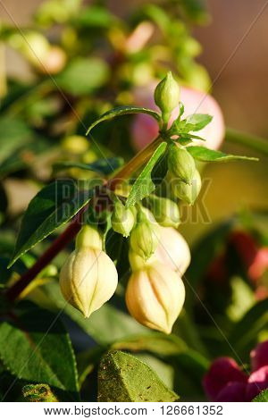 Group Of Several Buds Of Fuchsia Flower