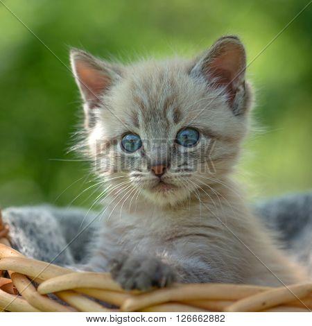 kitten on basket close up