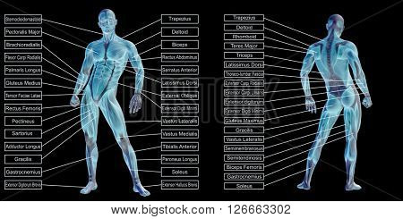 Concept or conceptual 3D human man anatomy and muscle text isolated on black background