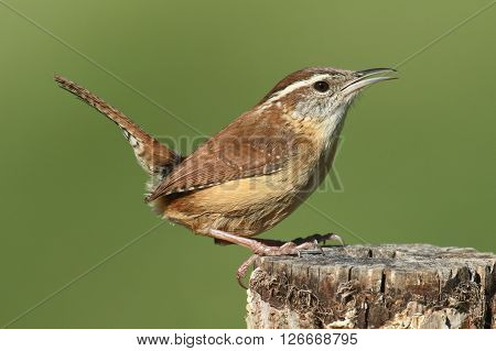 Carolina Wren (Thryothorus ludovicianus) on a post with a green background