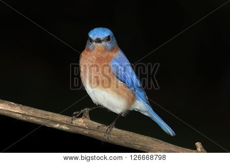 Male Eastern Bluebird (Sialia sialis) on a perch with a black background