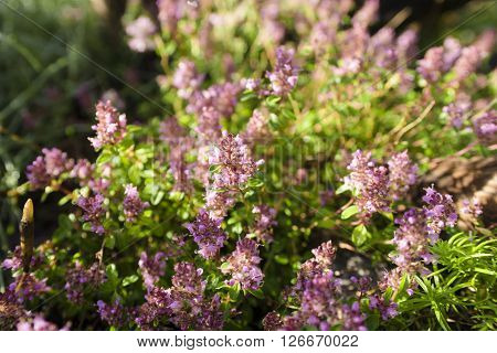Thymus - healing herb and condiment growing in nature (selective focus)
