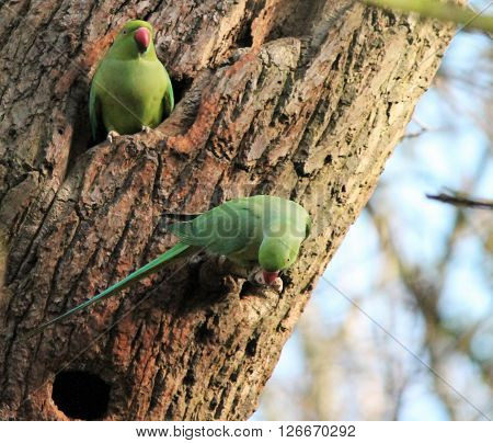 .rose-ringed Parakeet (psittacula Krameri), Known As The Ring-necked Parakeet, Is A Gregarious Afro-