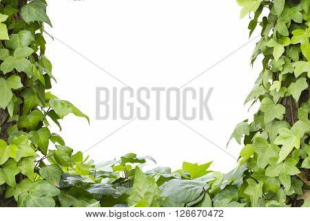 Hedera plant frame with a white background.