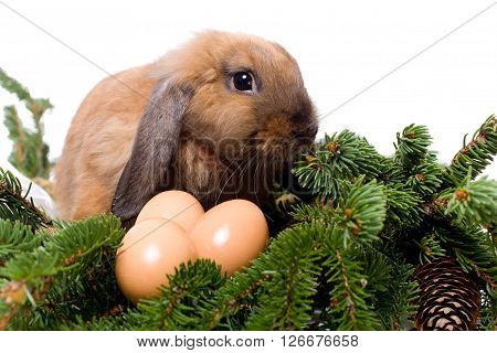 Lop-eared rabbit sitting in branches of fir-tree near three eggs