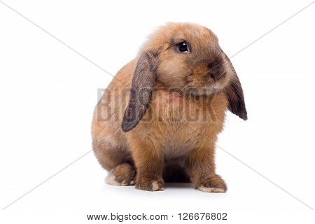Pretty little lop-eared rabbit, isolated over white