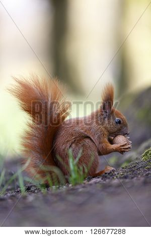 Squirrel nut the eater. Small depth of field ** Note: Shallow depth of field