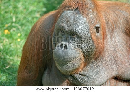 Portrait of adult red Orangutan (Pongo pygmaeus)