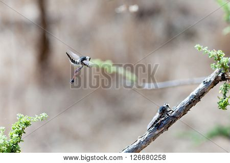 Courting dance of the robber fly (Asilus cabroniformis)