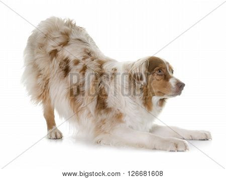 female australian shepherd in front of white background