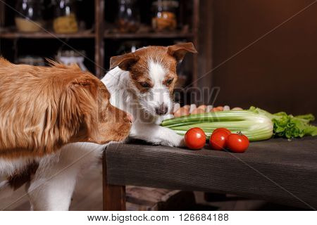 Dog Breed Jack Russell Terrier And Dog Nova Scotia Duck Tolling Retriever, Foods Are On The Table In
