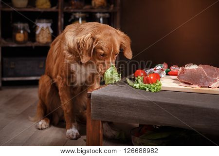 Dog Nova Scotia Duck Tolling Retriever , Foods Are On The Table In The Kitchen