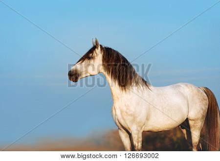 Beautiful white stallion poses on the blue sky background. A horse with a black mane close-up in profile
