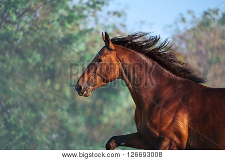 Portrait of beautiful bay stallion against the sky and the gentle green leaves. The horse runs closeup. Mane flying in the wind.