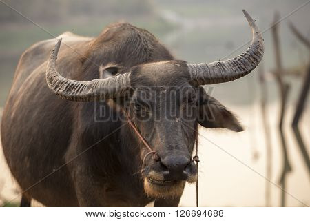 a heavily built wild ox with backswept horns, found mainly in the Old World tropics.