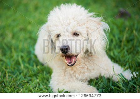 White Dog Playing