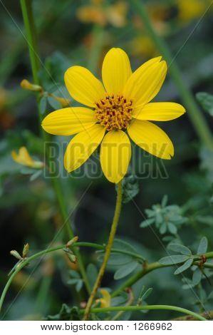 San Diego Sunflower 2