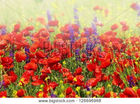 foggy poppies