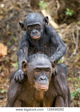 Bonobo Cub On Brachiums At Mother. At A Short Distance, Close Up. The Bonobo ( Pan Paniscus), Called