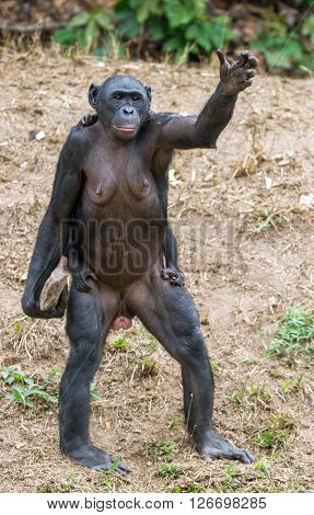 Chimpanzee Bonobo Mother With Child Standing On Her Legs And Hand Up. At A Short Distance, Close Up.