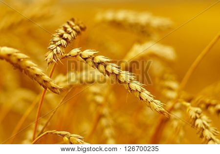 Wheat closeup. Wheat field. Background of ripening ears of wheat. Harvest and food concept