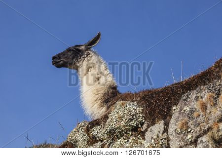 Llama in Machu Picchu, it was designed Peruvian Historical Sanctuary in 1981 and a World Heritage Site by UNESCO in 1983.