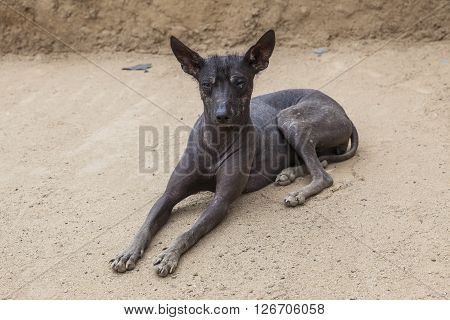 Peruvian black Hairless dog in Trujillo Perú.
