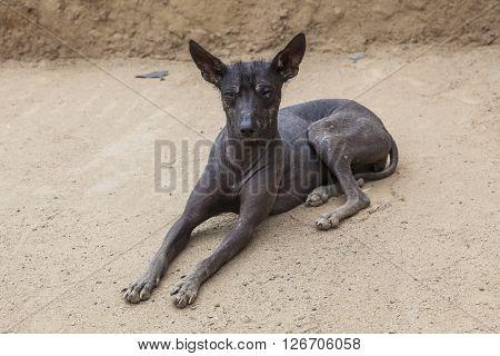 Peruvian black Hairless dog in Trujillo Perú.