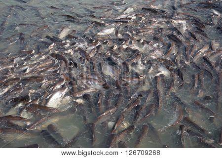 group of Pangasius fish at Chao Phraya River