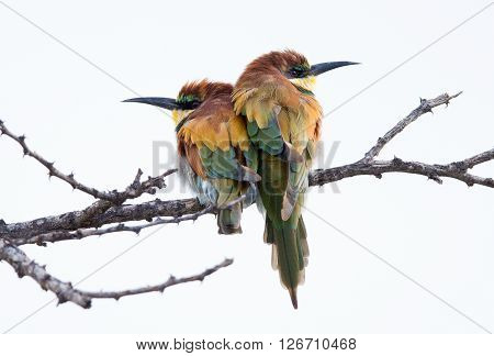Two colourful Bee eaters pearched on a branch sitting close to each other for warmth in the cold weather.
