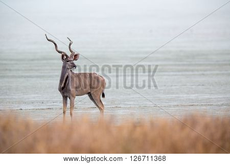 A larger kudu bull standing on the edge of the Etosha pan looking back.