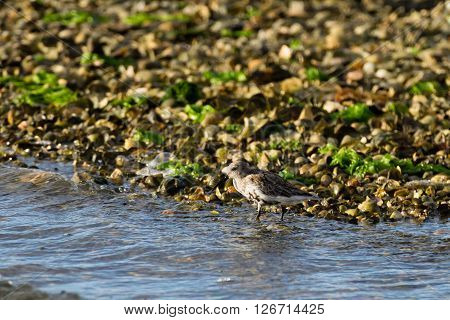 Close up of a Kentish plover bird from