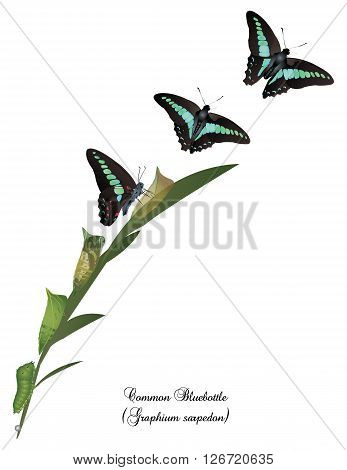 It is illustration of life cycle of common bluebottle butterfly