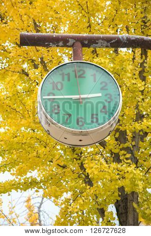 closed up the green clock with ginkgo trees in park Japan