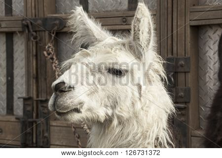 Head of white llama, Andean camelid used in agriculture
