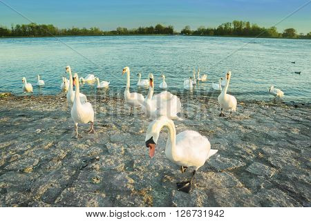 Swans in anticipation of feeding on the shore of the Rhine river. Toned image
