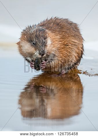 The Muskrat (ondatra Zibethica) Eats A Painter's Mussel (unio Pictorum).