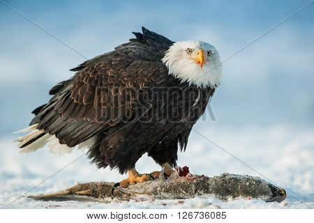The Bald Eagle ( Haliaeetus Leucocephalus ) Sits On Snow And Eats A Salmon Fish.