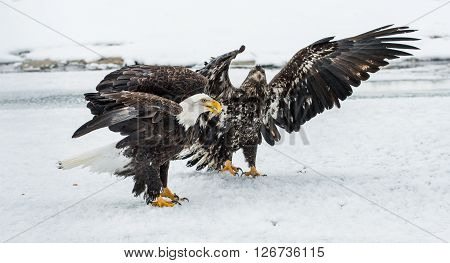 Bald Eagles (haliaeetus Leucocephalus) Fighting