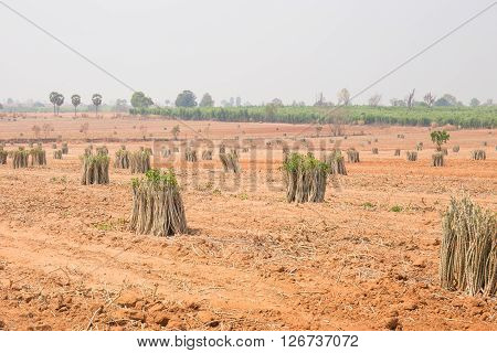 The Cultivation Of Cassava Plantation At Field. Landscape Of Cassava Plantation