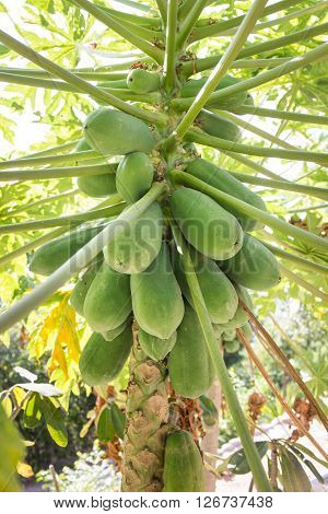 papaya tree with fruits. raw food for papaya salad
