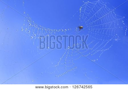 Spider on a web against the blue sky. Cobweb with dew drops on a blue background